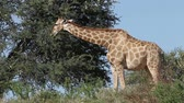 żyrafa : A giraffe (Giraffa camelopardalis) feeding on a tree, Kalahari, South Africa