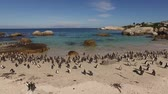 african penguin : Colony of African penguins (Spheniscus demersus), Boulders beach, Western Cape, South Africa Stock Footage