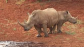 white lipped : White (square-lipped) rhinoceros (Ceratotherium simum) with calf at a waterhole, South Africa