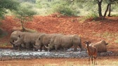 white lipped : White (square-lipped) rhinoceros (Ceratotherium simum) drinking at a waterhole, South Africa