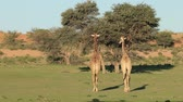 żyrafa : Two giraffes (Giraffa camelopardalis) walking in a dry riverbed, Kalahari desert, South Africa