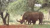 white lipped : White (square-lipped) rhinoceros (Ceratotherium simum) with calf in natural habitat, South Africa