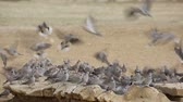 pomba : Cape turtle doves (Streptopelia capicola) gathering at a waterhole, Kalahari desert, South Africa