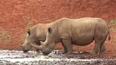 white lipped : White (square-lipped) rhinoceros (Ceratotherium simum) with calf drinking at a waterhole, South Africa