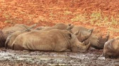 white lipped : White (square-lipped) rhinoceros (Ceratotherium simum) wallowing in mud at a waterhole, South Africa