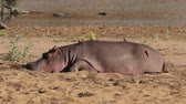 amphibious : A hippo (Hippopotamus amphibius) resting outside the water, Kruger National Park, South Africa