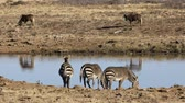 wildebeest : Cape mountain zebras (Equus zebra) and black wildebeest at a waterhole, Mountain Zebra National Park, South Africa