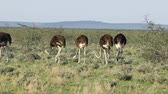 Намибия : Group of ostriches (Struthio camelus) in natural habitat, Etosha National Park, Namibia Стоковые видеозаписи