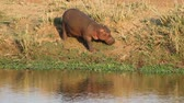 hipopótamo : A hippo (Hippopotamus amphibius) feeding on land, Kruger National Park, South Africa