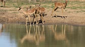 game reserve : Impala antelopes (Aepyceros melampus) at a waterhole, Mkuze game reserve, South Africa