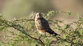perché : Greater kestrel (Falco rupicoloides) perched on a tree, Kalahari, South Africa