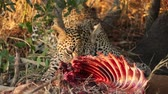 lampart : A leopard (Panthera pardus) feeding on its prey, Sabie-Sand nature reserve, South Africa Wideo