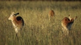 african wildlife : Red lechwe antelopes (Kobus leche) in tall grassland, southern Africa Stock Footage