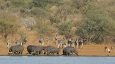 suaygırı : Hippos (Hippopotamus amphibius), zebras (Equus burchelli) and other wildlife at a dam,  South Africa