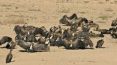 milli park : White-backed vultures (Gyps africanus) basking in the sun,  South Africa