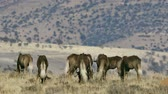wildebeest : Black wildebeest (Connochaetes gnou) herd walking in natural habitat, Mountain Zebra National Park, South Africa Stock Footage