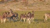 oido : Alert plains zebras (Equus burchelli) in natural habitat, South Africa