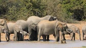 African elephants (Loxodonta africana) drinking water, Kruger National Park, South Africa
