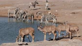 plaines : Kudu antelopes and plains zebras drinking at a waterhole, Etosha National Park, Namibia