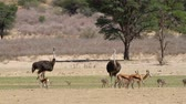 struzzo : Ostriches and springbok antelopes walking in a shimmering heat wave, Kalahari desert, South Africa