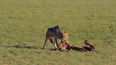 cabeludo : Black-backed jackals (Canis mesomelas) scavenging the remains of an antelope, Kalahari, South Africa Stock Footage