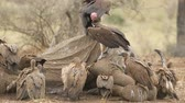 White-backed and lappet-faced vultures scavenging on a dead elephant, Kruger National Park, South Africa Стоковые видеозаписи