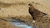olgunlaşmamış : Young, immature bateleur eagle (Terathopius ecaudatus) at a waterhole, Kalahari desert, South Africa Stok Video