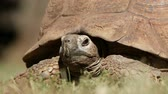 gluren : Close-up of a leopard tortoise (Stigmochelys pardalis) peeking from its shell, South Africa Stockvideo