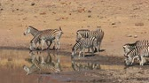 plaines : Herd of plains zebras (Equus burchelli) drinking water, Pilanesberg National Park, South Africa