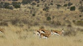кормление : Springbok antelopes (Antidorcas marsupialis) feeding in dry grassland with shimmering heat waves, South Africa