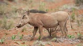 stání : An alert warthog (Phacochoerus africanus) in natural habitat, South Africa