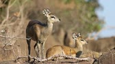 oido : A pair of klipspringer antelopes (Oreotragus oreotragus) in natural habitat, Kruger National Park, South Africa Archivo de Video