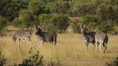 plaines : Plains zebras (Equus burchelli) in natural habitat, South Africa Vidéos Libres De Droits
