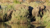 tusks : Feeding African elephants (Loxodonta africana), Kruger National Park, South Africa Stock Footage