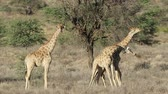 치다 : Two giraffe bulls (Giraffa camelopardalis) fighting, Kalahari desert, South Africa 무비클립