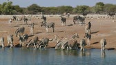 susuzluk : Plains zebras (Equus burchelli) drinking water, Etosha National Park, Namibia Stok Video