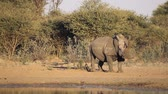 mocz : A big male white rhinoceros (Ceratotherium simum) marking its territory, South Africa Wideo