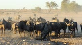 wildebeest : Herd of blue wildebeest (Connochaetes taurinus) drinking water at a dusty waterhole, Kalahari desert, South Africa Stock Footage