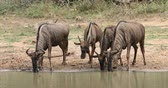 wildebeest : Blue wildebeest (Connochaetes taurinus) drinking water, Mkuze game reserve, South Africa