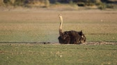 struzzo : An ostrich (Struthio camelus) taking a dust bath, Kalahari desert, South Africa