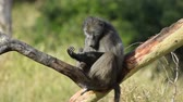 primát : Big male chacma baboon (Papio hamadryas ursinus) sitting in a tree, South Africa
