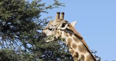 背の高い : Close-up of a giraffe (Giraffa camelopardalis) feeding on a tree, South Africa