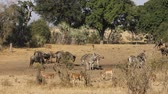 wildebeest : Blue wildebeest, impala antelopes and plains zebras at a watering piont, Kruger National Park, South Africa Stock Footage