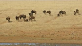 wildebeest : Herd of black wildebeest (Connochaetes gnou) in grassland, Mokala National Park, South Africa