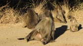 primát : Chacma baboon (Papio ursinus) family basking in the sun, Kruger National Park, South Africa