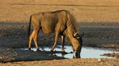 飲物 : A blue wildebeest (Connochaetes taurinus) drinking water at a waterhole, Kalahari desert, South Africa