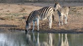 veulen : A plains zebra (Equus burchelli) with foal drinking water, Mkuze game reserve, South Africa Stockvideo
