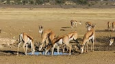 écologie : Herd of springbok antelopes (Antidorcas marsupialis) at a waterhole, Kalahari desert, South Africa
