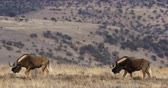 wildebeest : Black wildebeest (Connochaetes gnou) walking in natural habitat, Mountain Zebra National Park, South Africa Stock Footage