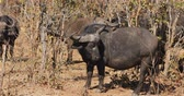 bufala : African buffalo (Syncerus caffer) with oxpecker birds, Kruger National Park, South Africa Filmati Stock